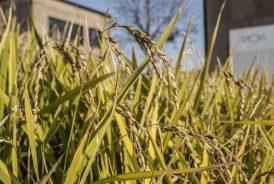 novacivitas festeggia il taglio del riso di Coltivare la Città